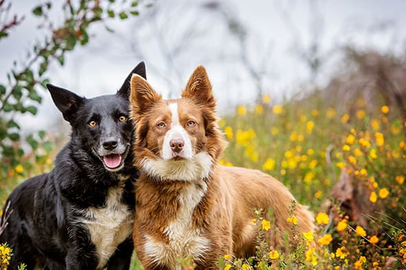 Kelpie Australian Shepherd Outdoors in Yellow Flowers