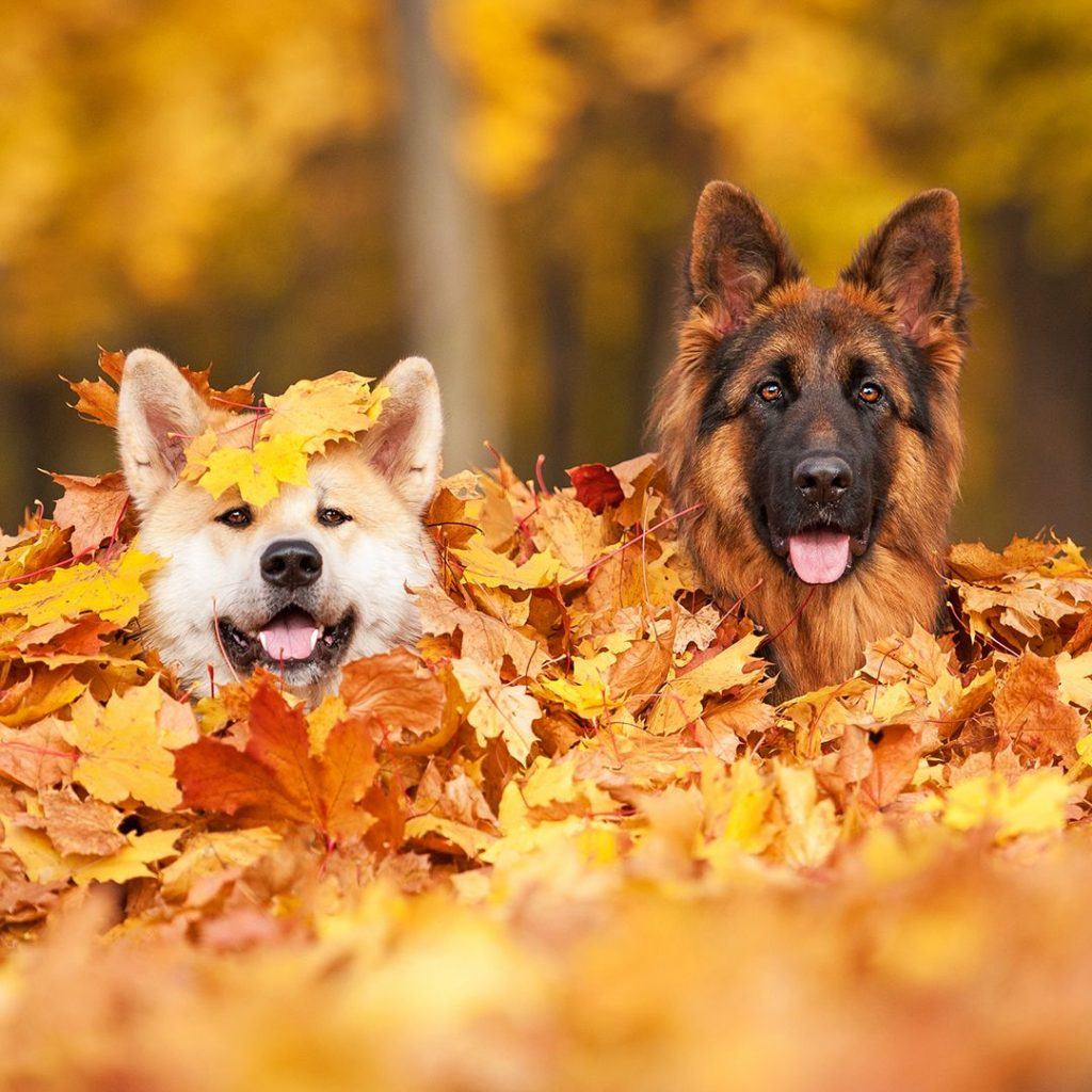 Autumn Dogs